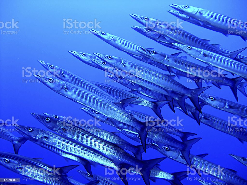 Blackfin barracuda stock photo
