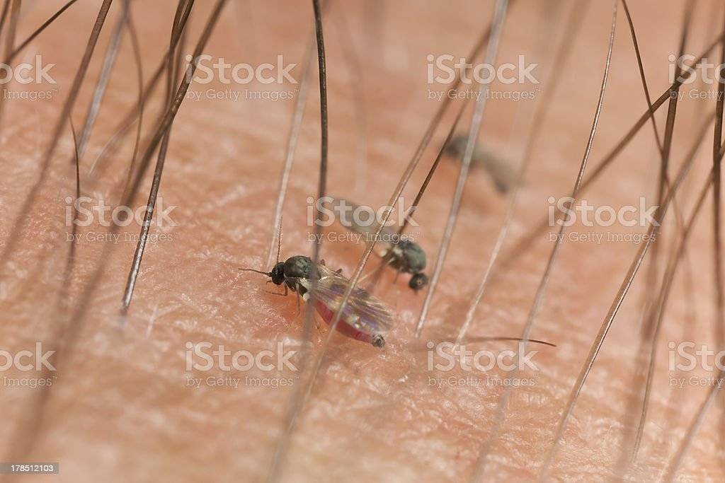 Blackflies sucking blood on human arm, extreme close-up stock photo