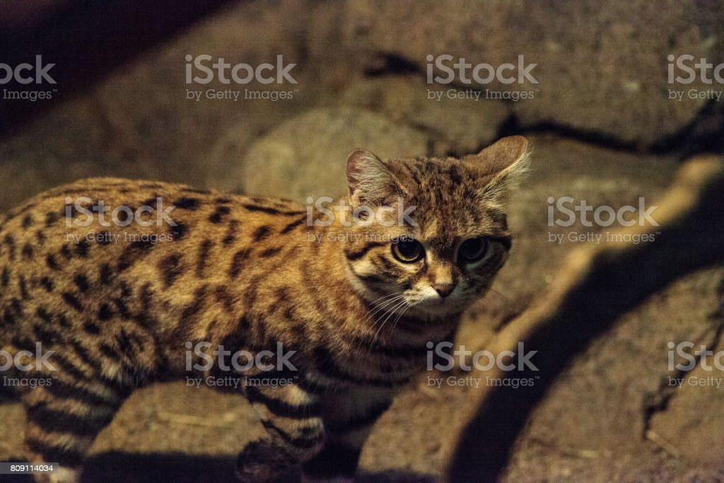 Black-footed cat Felis nigripes stock photo