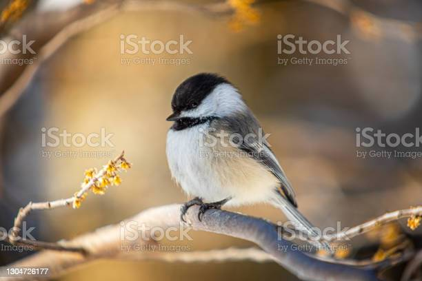 Photo of Black-headed, (Poecile atricapillus), Black-capped chickadee in winter.