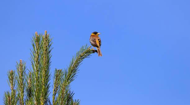 bunting à tête noire dans différents cadres sur la branche dans l'arbre - jungle menu photos et images de collection
