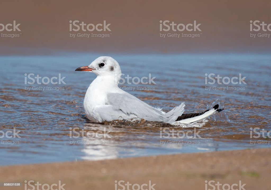 A black-headed gull (Chroicocephalus ridibundus) bathing on the beac stock photo