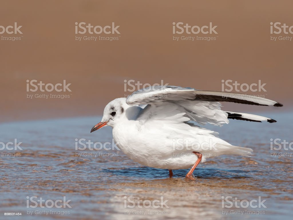 A black-headed gull (Chroicocephalus ridibundus) bathing stock photo