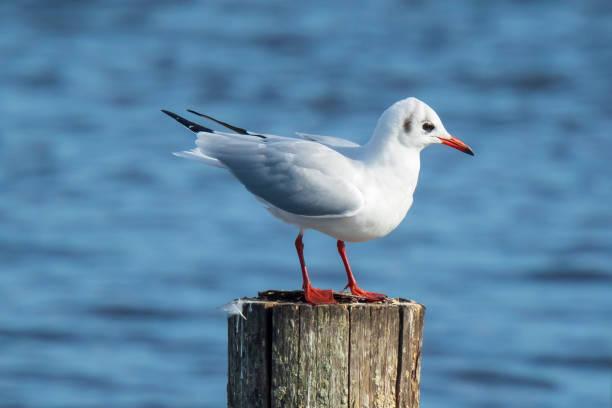 black-headed gull, chroicocephalus ridibundus perched on a pole - uccello marino foto e immagini stock