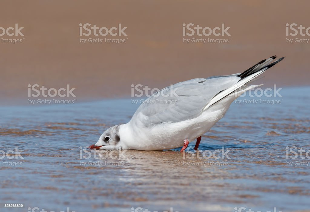 A black-headed gull (Chroicocephalus ridibundus) drinking water stock photo