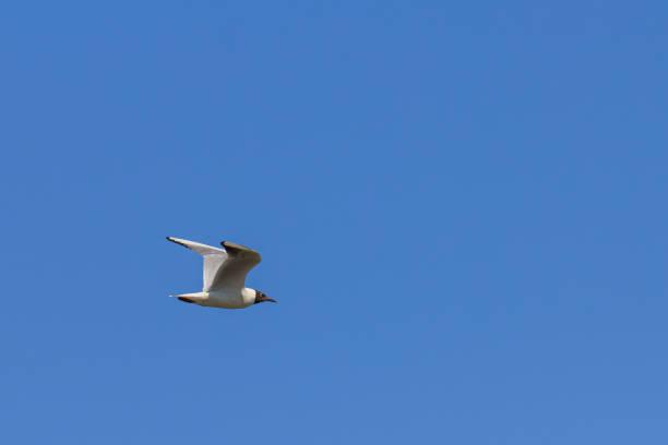 Black-headed gull flies against the blue sky stock photo