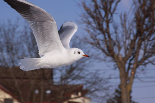 Black-headed gull flying in cold winter in city stock photo