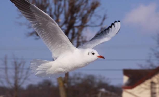 Black-headed gull in flight in cold winter in city stock photo