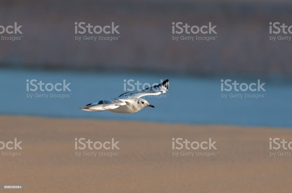 A black-headed gull (Chroicocephalus ridibundus) in flight stock photo