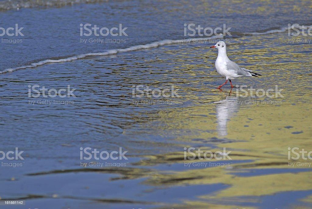 Black-headed Gull in the sea royalty-free stock photo