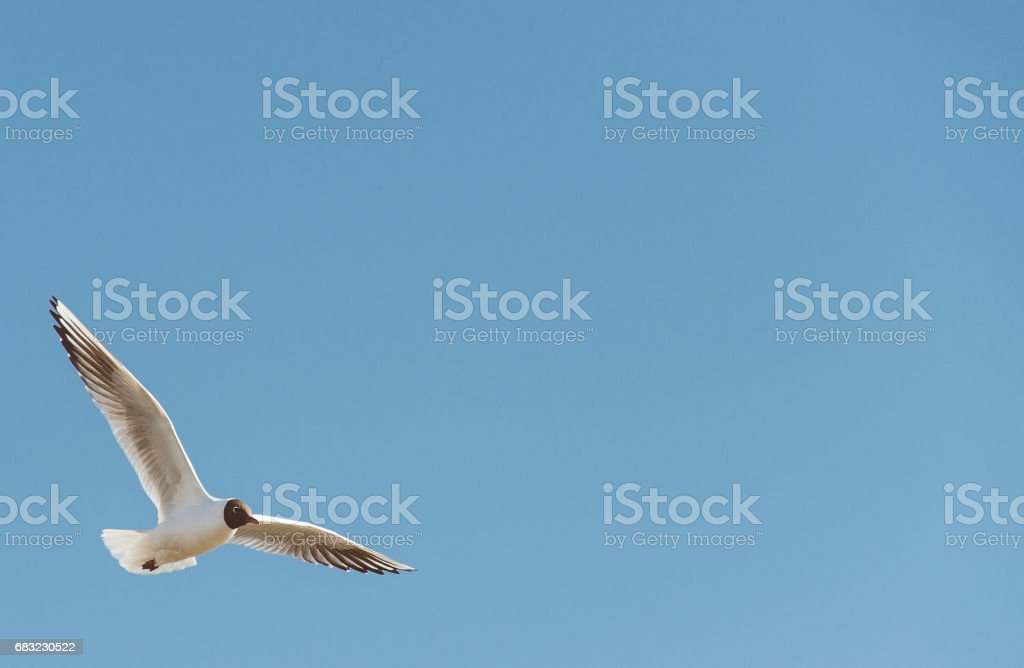 Black-headed gull in the sky. Place for text. royalty-free stock photo