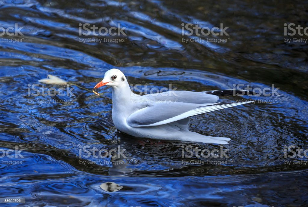 A Black-headed gull on blue water fishing stock photo