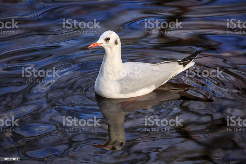 A Black-headed gull on blue water stock photo