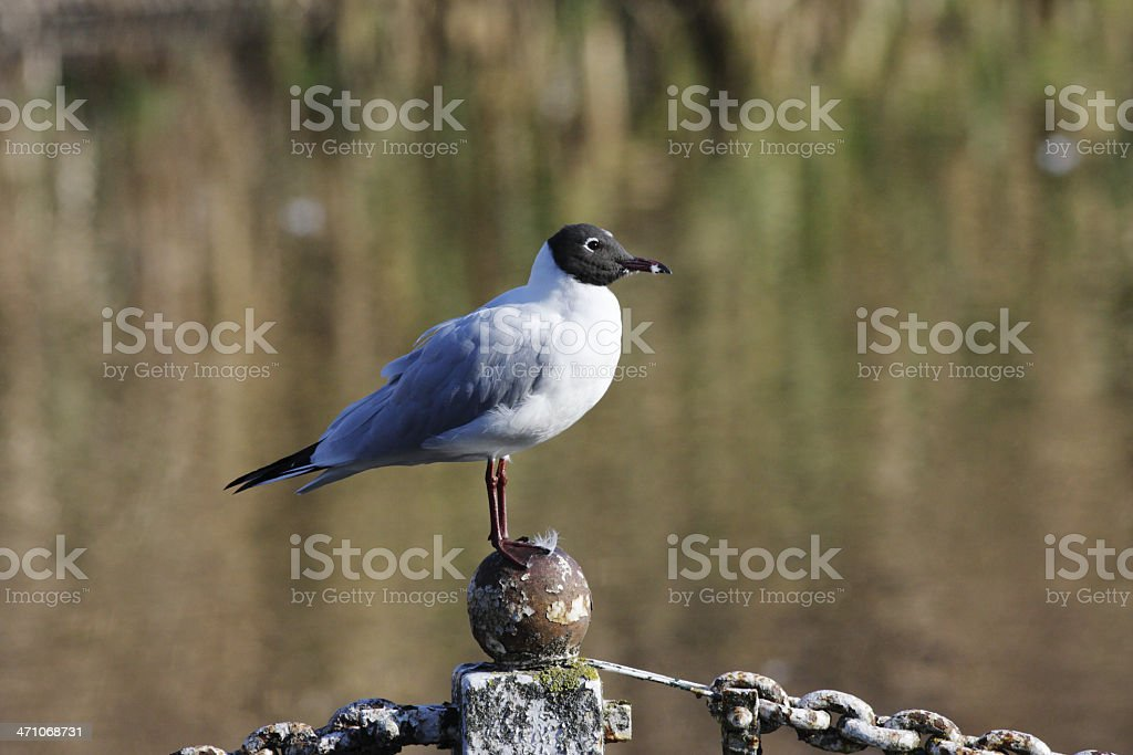 Blackheaded gull on favoured perch rules the roost stock photo
