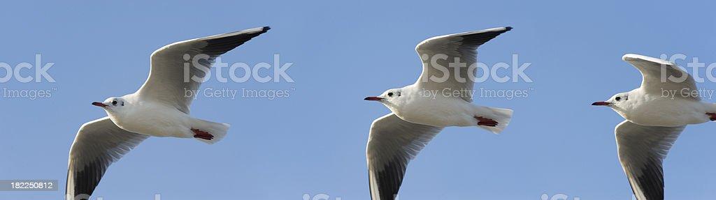 (common) black-headed gull (image size XXXL) royalty-free stock photo