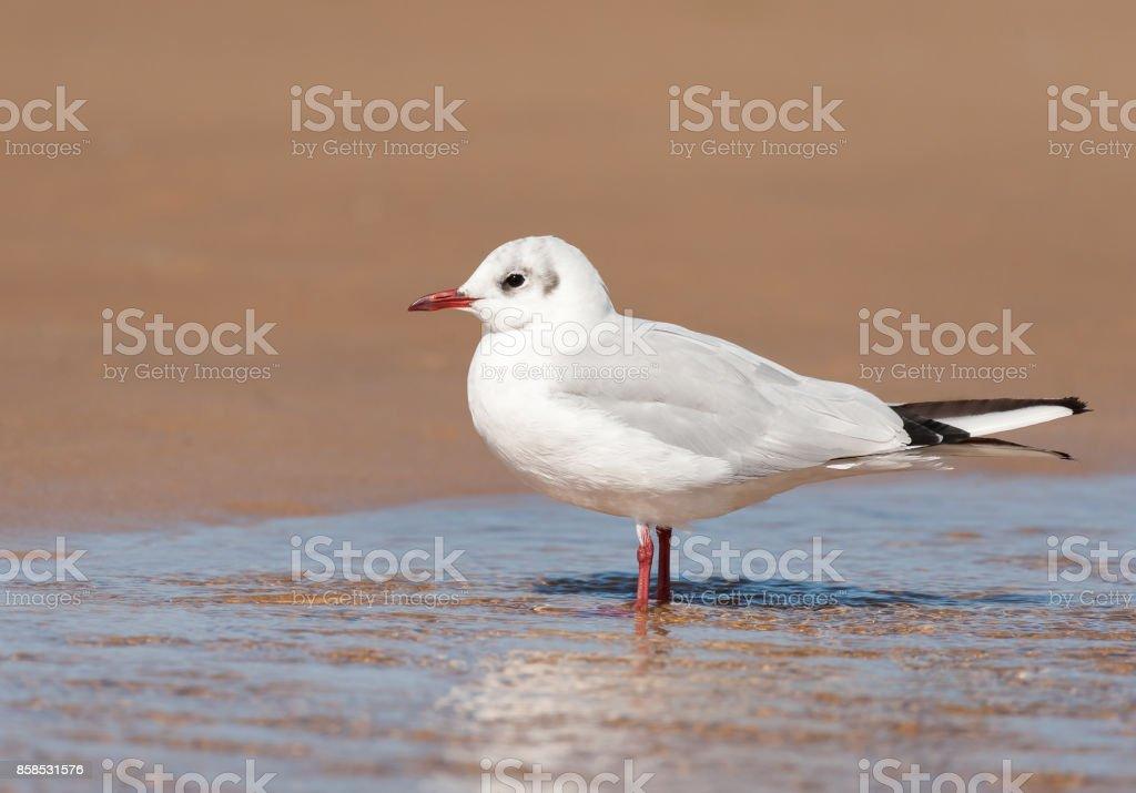 A black-headed gull (Chroicocephalus ridibundus) standing in a puddle stock photo