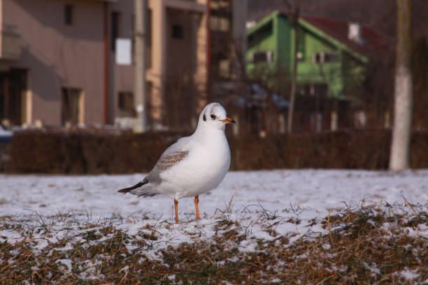Black-headed gull walking in Cluj city in winter stock photo