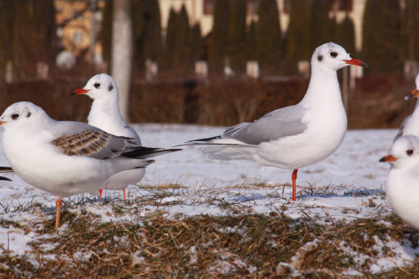 Black-headed gulls in cold winter on river bank stock photo