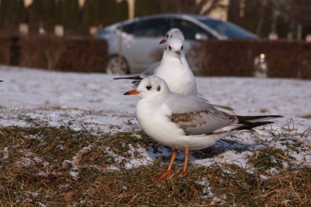 Black-headed gulls in winter on river bank on snow stock photo