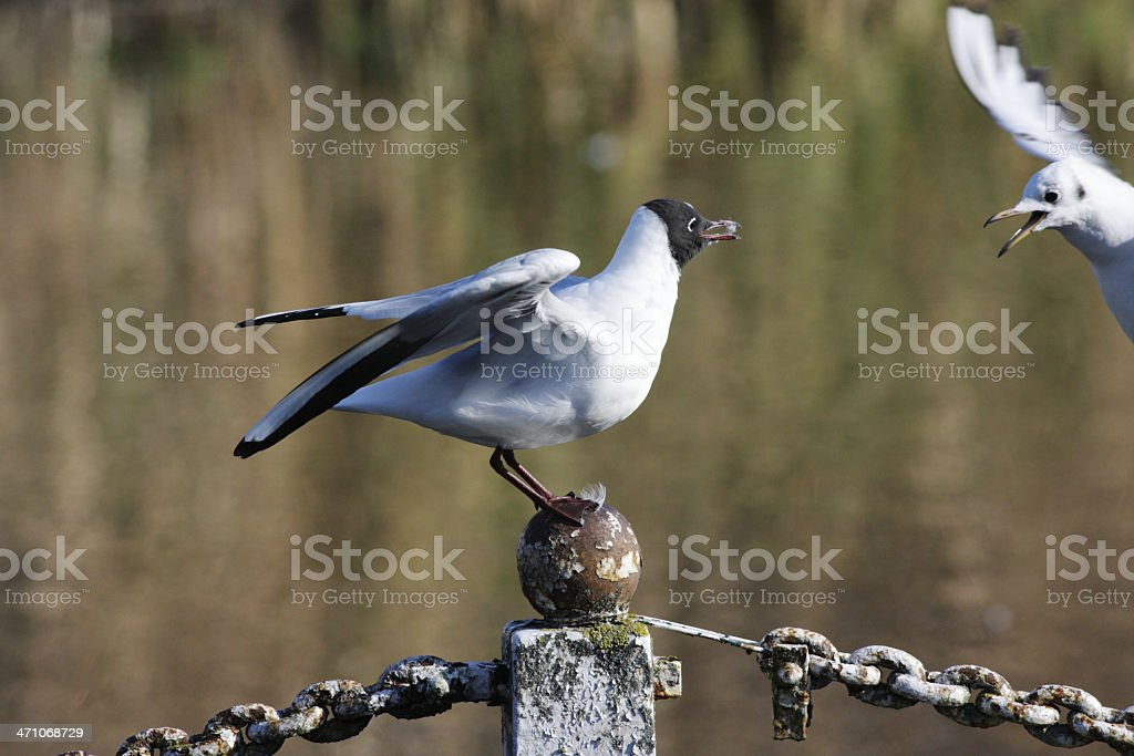 Blackheaded gulls Larus ridibundus in aggressive mood stock photo