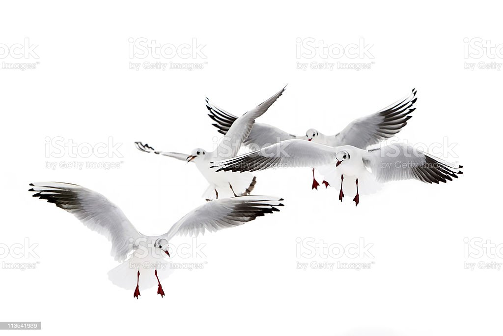 Black-Headed Gulls royalty-free stock photo