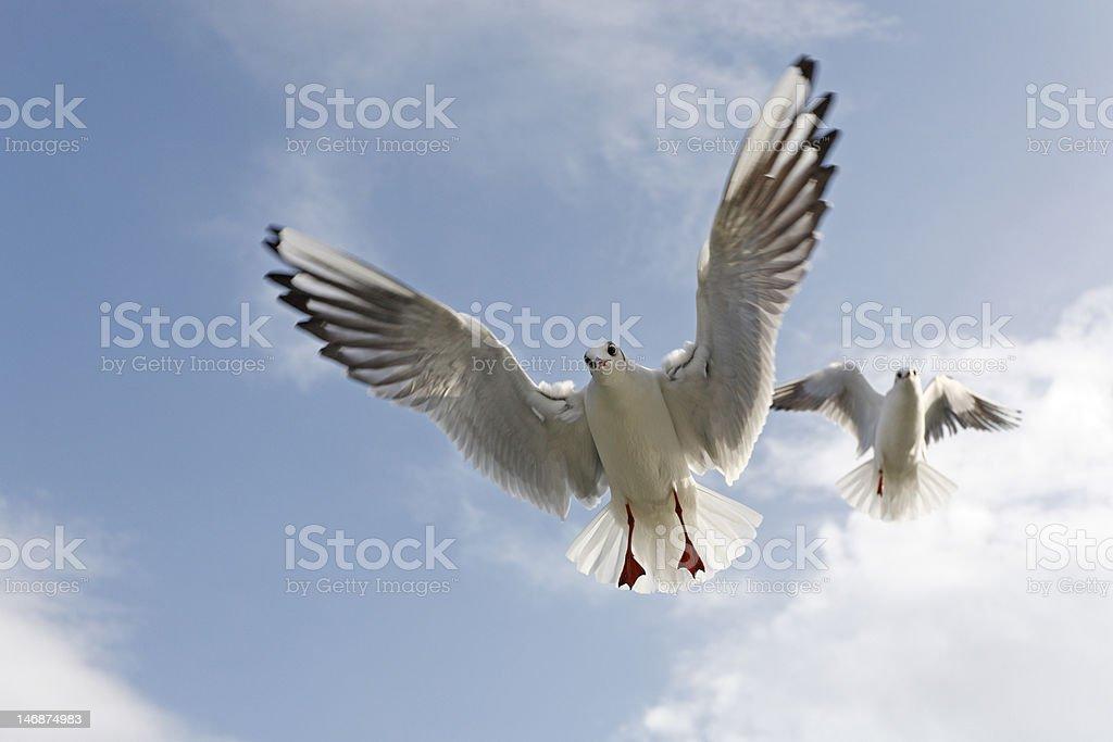 Black-Headed Gulls royalty-free stock photo