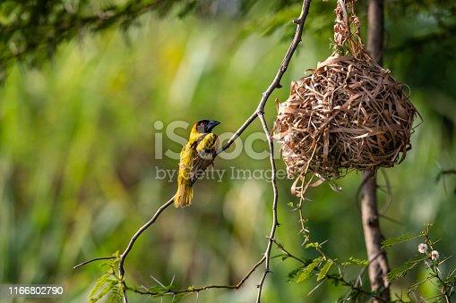 Black-headed weaverbird (subspecies Ploceus cucullatus bohndorffi) in front of his nest at the shores of river Nile, Murchison Falls National Park, Uganda, Africa
