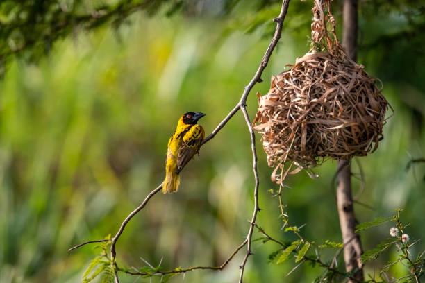 Black-headed or village weaverbird at the Nile River, Uganda stock photo