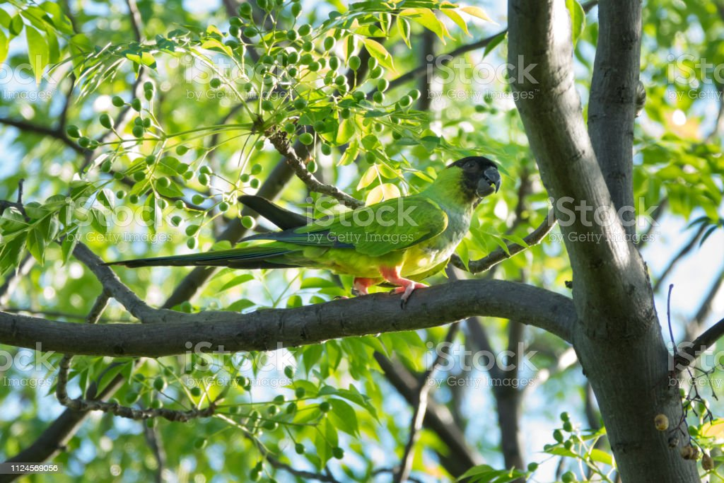 Black-hooded nanday parakeet feeding Constanera Sur Ecological Reserve Buenos Aires Argentina stock photo