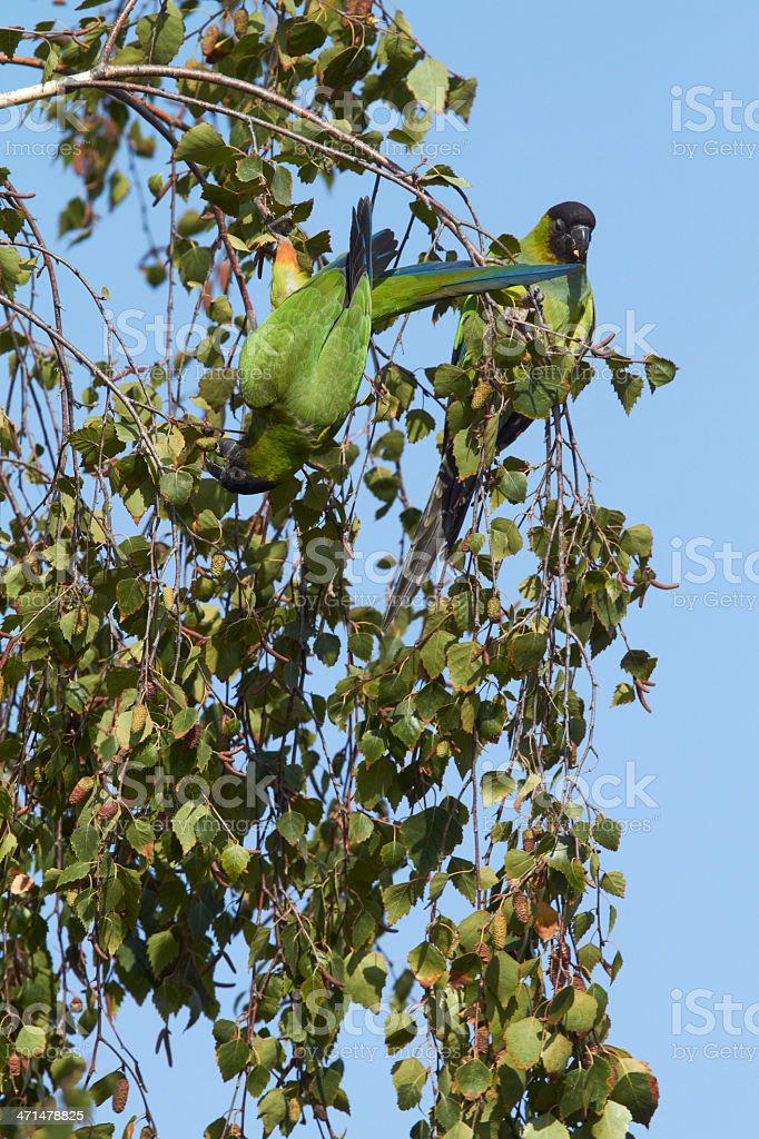Black-hooded Parakeets stock photo