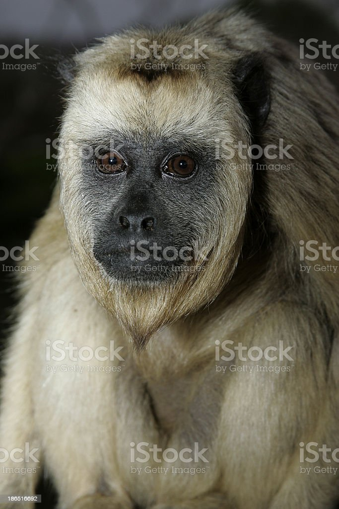 Black-howler monkey, Alouatta caraya royalty-free stock photo
