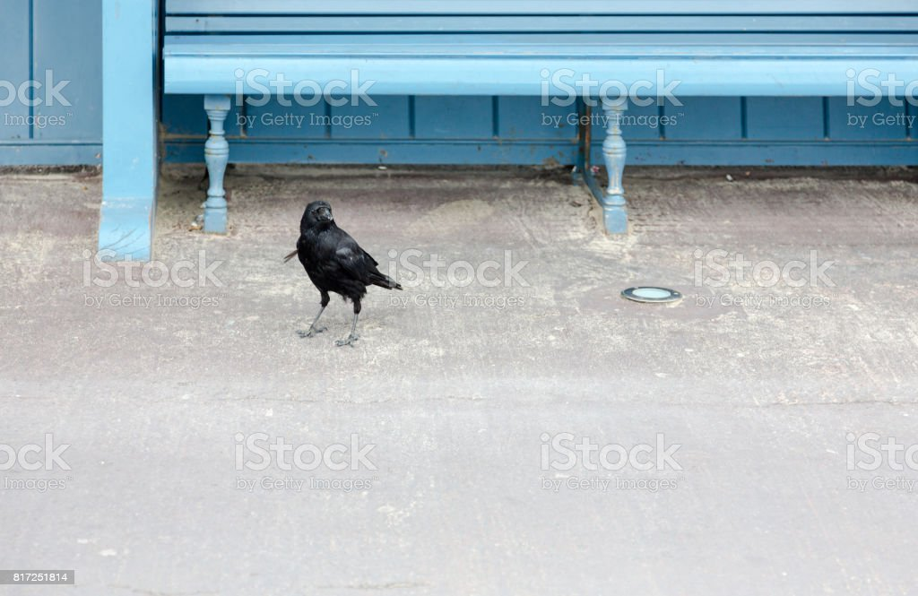 Blackl crow contrasting to blue wooden architecture stock photo
