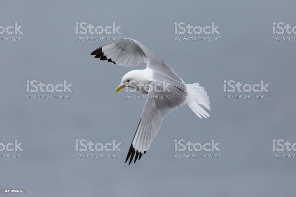 tridáctila (rissa tridactyla) em voo - foto de acervo