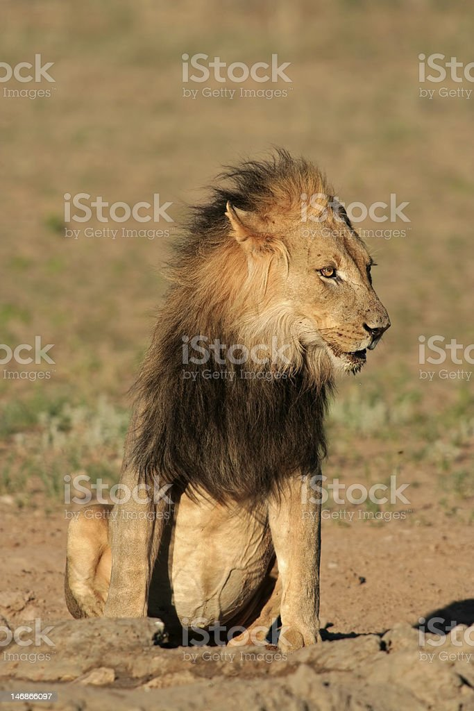 Black-maned African lion royalty-free stock photo
