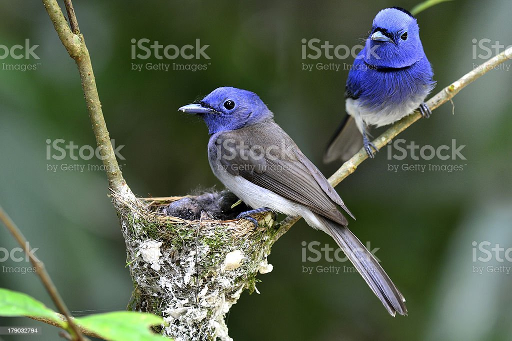 Black-naped Monarch or blue flycatcher Black-naped Monarch or black-naped blue flycatcher, hypothymis azurea, asian paradise flycatcher, guarding its chicks in the nest, mother day Asia Stock Photo