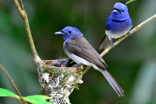 Blacknaped Monarch Or Blue Flycatcher Stock Photo - Download Image Now