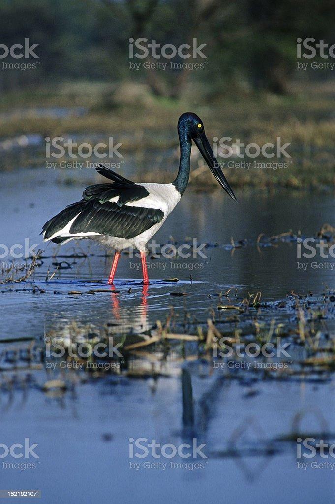 Blackneck Stork stock photo