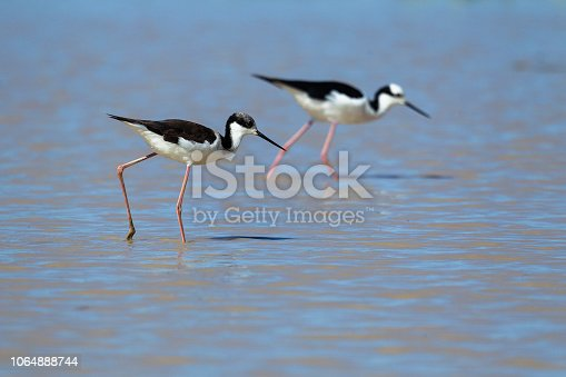 Black-necked stilt (Himantopus mexicanus) and White-headed stilt (Himantopus leucocephalus), Pantanal, Mato Grosso, Brazil