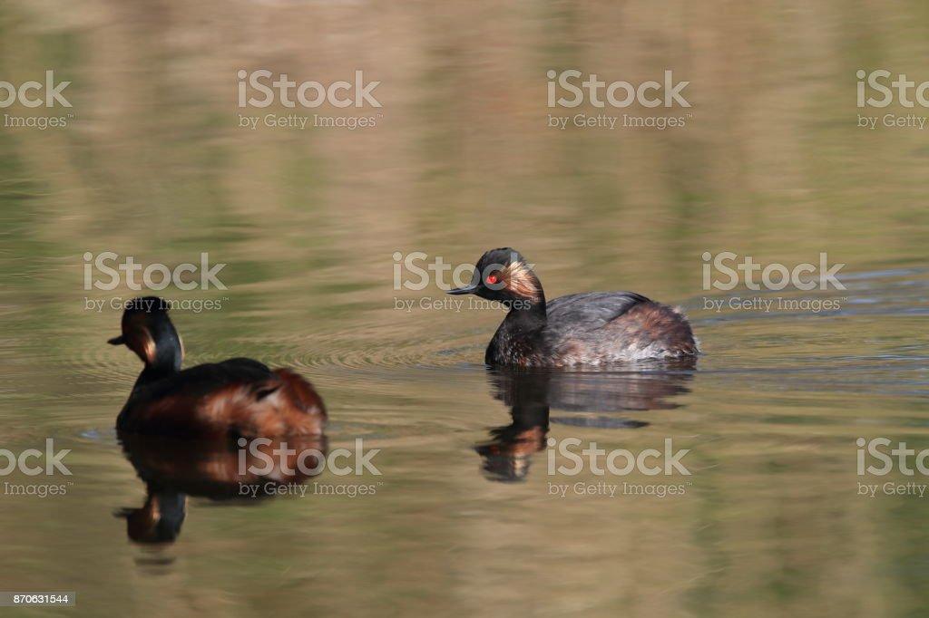 Black-Necked Grebe (Podiceps nigricollis) Baden Württemberg Germany stock photo