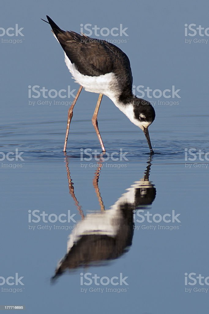Black-necked Stilt foraging. stock photo