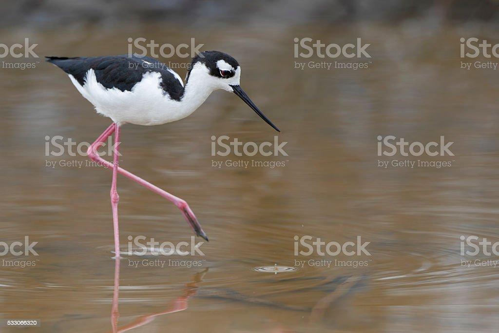 Black-necked stilt (Himantopus mexicanus) foraging, Salt Flats, Puerto Rico stock photo