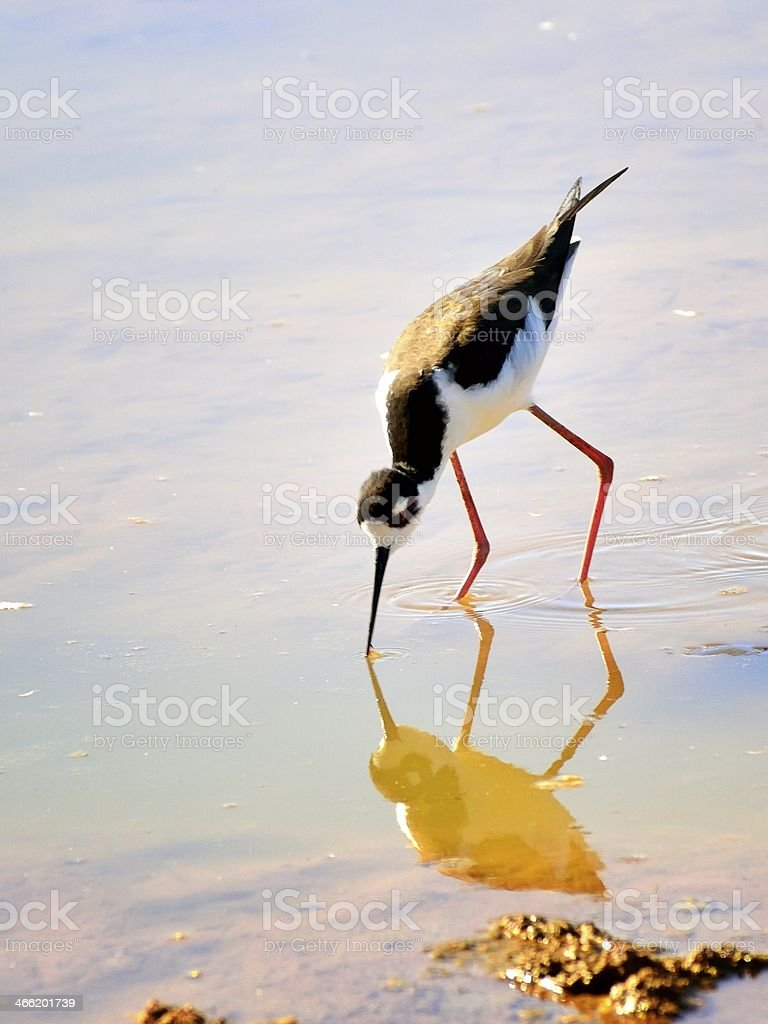Black-necked Stilt In Arizona II royalty-free stock photo