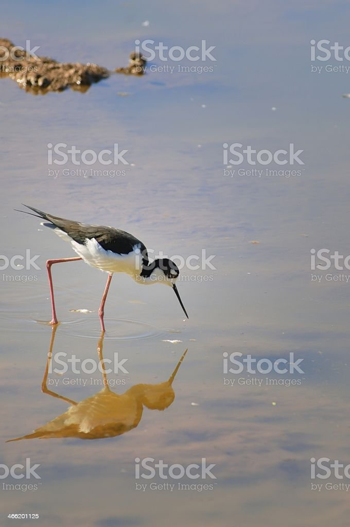 Black-necked Stilt In Arizona royalty-free stock photo