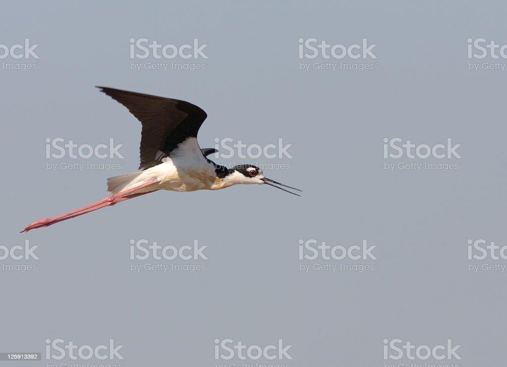 Black-necked Stilt in flight stock photo