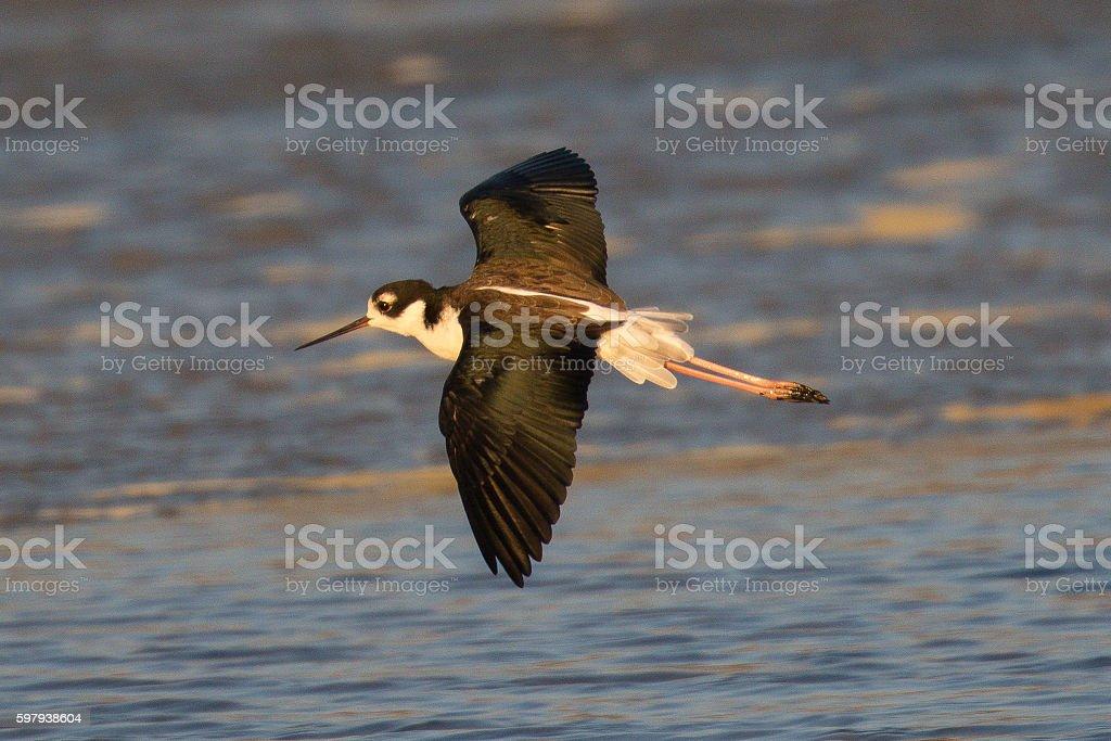 Black-necked stilt in flight, seen in a North California marsh foto royalty-free