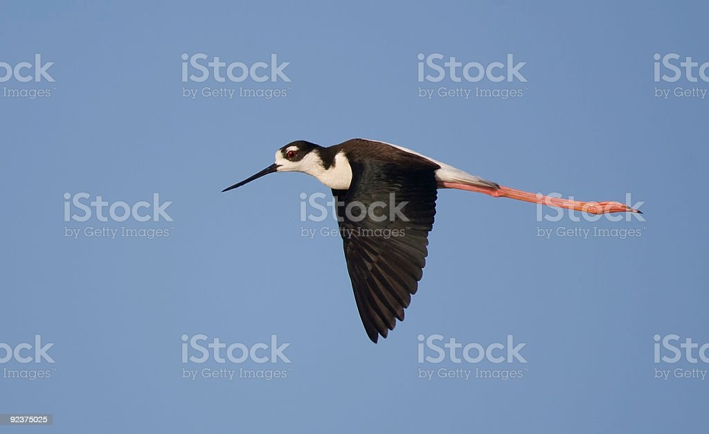Black-Necked Stilt in-flight royalty-free stock photo