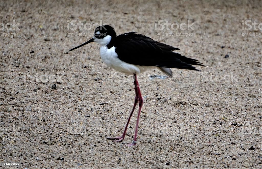 Black-necked stilt on shore foto stock royalty-free