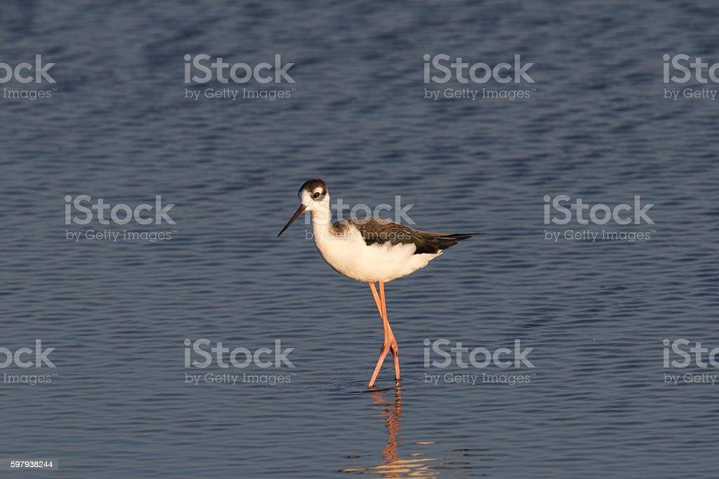 Black-necked stilt, seen in a North California marsh foto royalty-free