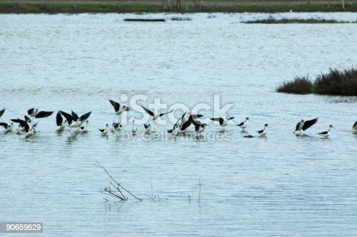 Black-necked stilts,