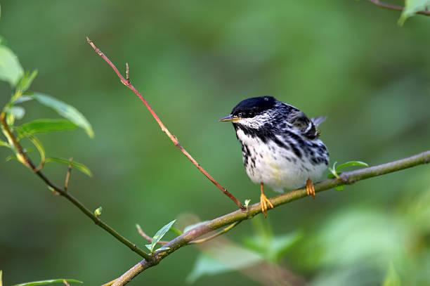 blackpoll warbler (dendroica striata) - amerikaanse zangers stockfoto's en -beelden